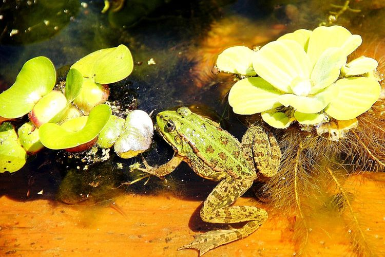 Animals In The Wild Animal Themes One Animal Nature Frogs Of Eyeem Frogs View Eyeem Market Firsteyeemphoto☺ Photography Eyeemphoto EyeEm Gallery EyeEm Selects Green Color Beauty In Nature Nature EyeEm Best Shots Artphotography Outdoors Batracien Water