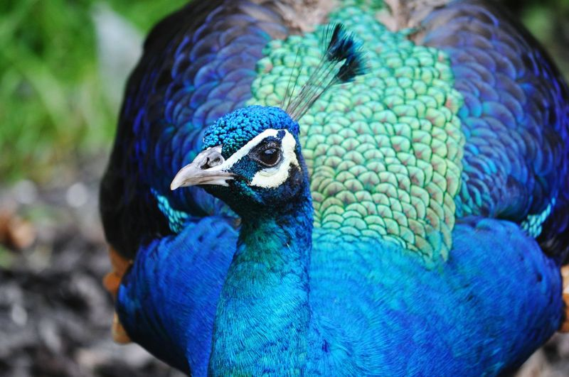 One Animal Blue Bird Peacock Animal Themes Animal Wildlife Animals In The Wild Close-up Nature Outdoors Beauty In Nature No People Day Blue Color Feathers Beauty Natural Beauty Majestic The Portraitist - 2017 EyeEm Awards