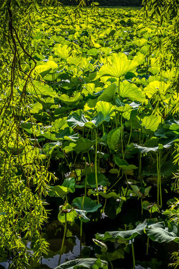 Lotus plants & flowers at Ueno Park, Shinobazu pond Green Japan Lotus Flower Lotus Leaf Meditation Pond Tokyo Beauty In Nature Day Green Color Growth Leaf Leaves Lotus Lotus Pond Nature No People Outdoors Plant Plant Part Ueno Park Zen