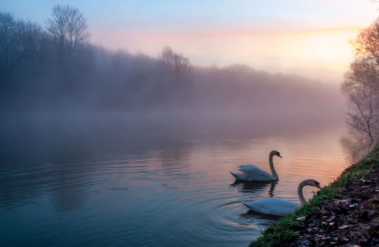 Un matin d'hiver brumeux aux bords de Marne, 2 cygnes vaquent à leurs occupations Animal Themes Animal Wildlife Animals In The Wild Beauty In Nature Bird Day Lake Nature No People Outdoors Reflection Sky Sunset Swan Swimming Water Water Bird First Eyeem Photo EyeEm Nature Lover
