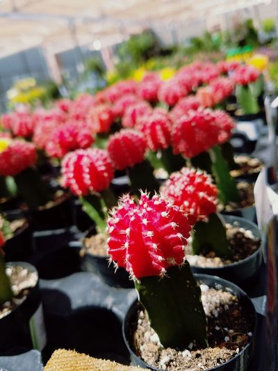 Ruby Ball Cactus Nature No People Plant Outdoors Close-up Bundle Garden