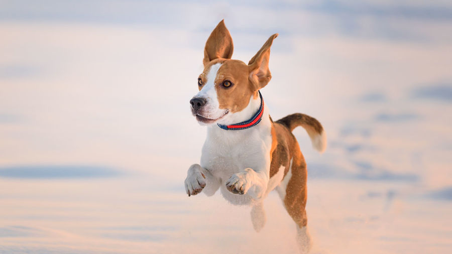 Beagle dog running towards camera on snow covered field Beagle Running Canine Dog One Animal Domestic Mammal Domestic Animals Pets Animal Themes Animal Nature Looking Collar Vertebrate No People Pet Collar Looking Away Motion Land Sky Winter Snow Jumping