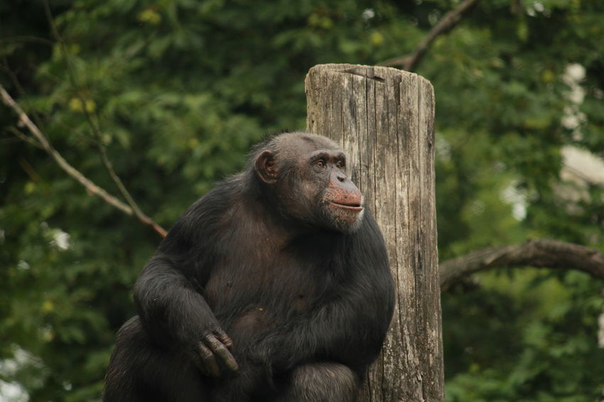 Animal Wildlife Chimpanzee Animals In The WildOutdoors Animal Themes Monkey Zoo Animals  No People For The Love Of Photography Taking Photos Focus On Foreground Animal Portrait One Animal Nature Close-up Representing Day Animal Smile Canon_photos No Edit/no Filter Zoo Photography
