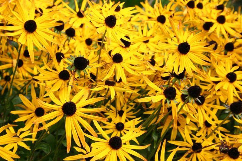 Daisies Yellow