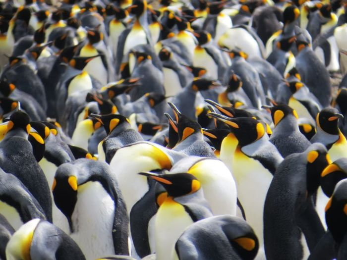King Penguin colony Sub Antarctics Uncommon  Macquarie Island Wildlife King Penguin Penguin Colony Penguin Penguin Large Group Of Animals Colony Bird Animal Animal Wildlife Group Of Animals Animals In The Wild No People Animal Themes Nature