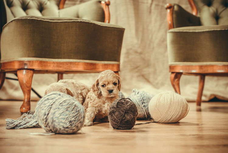 Puppy playing with yarns Cocker Spaniel  Playing With The Animals Puppy Love Animal Themes Chair Cute Day Dog Domestic Animals Hardwood Floor Home Interior Indoors  Living Room Mammal No People One Animal Pets Playing Puppy Sitting Table Yarn