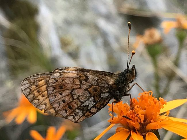 EyeEm Selects Insect Animals In The Wild Animal Themes Butterfly - Insect Close-up Focus On Foreground Beauty In Nature Flower Head Flower Nature Eyeemphoto Take A Photo EyeEm Best Shots Popular Photos Eye4photography  Mountain Range Wildlife