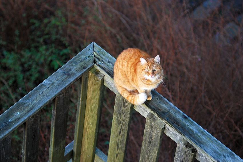 Gingy Animal Themes Cat Day Ginger Ginger Cat Mammal Miau No People One Animal Wood - Material
