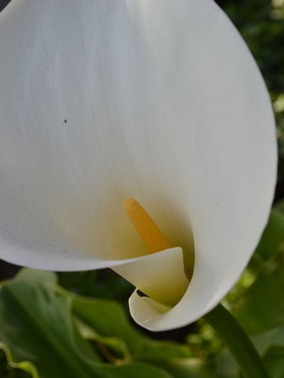 Beauty In Nature Beauty In Nature Biology Close-up Day Flower Flower Head Fragility Freshness Growth Lilly Nature No People Outdoors Petal Plant White White Flower White Flower Close Up