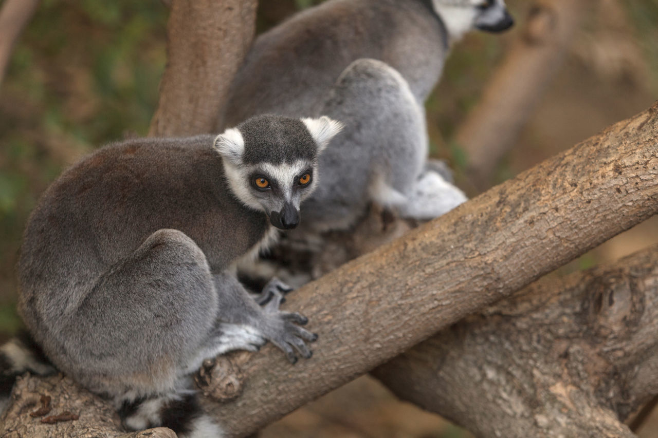 Lemur Looking Away Against Blurred Background