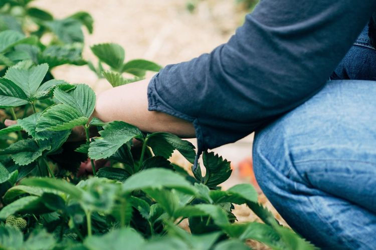 Midsection of woman working in strawberry field