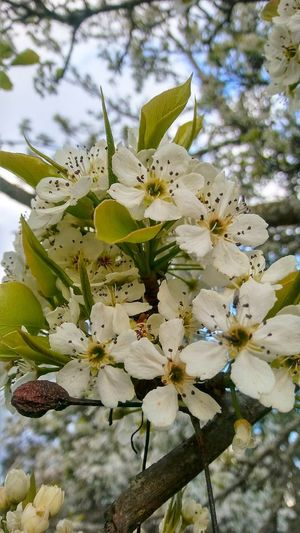 Flower Flower Head Branch Tree Springtime Blossom Close-up Sky Green Color Plant Apple Blossom Fruit Tree Apple Tree Blooming