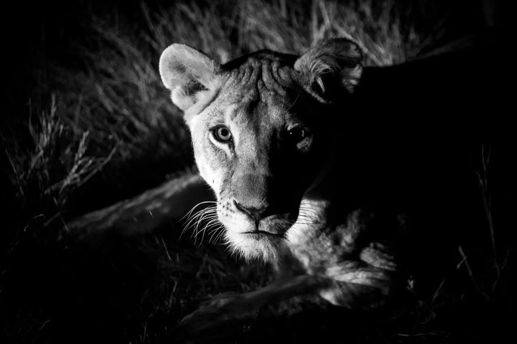 High angle portrait of lioness outdoors