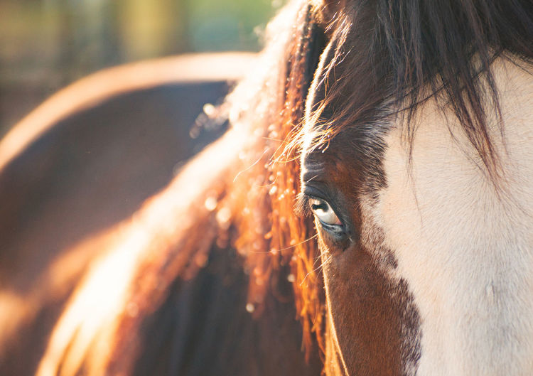 Close up of brown and white horse with bright blue eyes. Horse Horses Horse Photography  Horseback Riding Equestrian Ranch Life Ranch Living Thoroughbred Animal Themes Animals Animal Domestic Animals Domestic One Animal Close-up Animal Wildlife Animal Body Part Vertebrate Eye Animal Head  Animal Eye Mane No People Outdoors Profile View