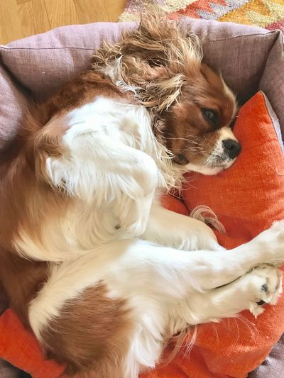 Cavalier King Charles a carachter Mammal Funny Faces Portrait Lying On Back Blenheim Cavalier King Charles Spaniel Pets Canine Dog Mammal Domestic One Animal Domestic Animals Animal Themes Lap Dog Relaxation Resting Indoors  Lying Down No People High Angle View My Best Photo