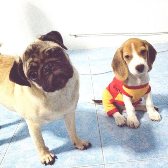 Worldcup&Hitler Pug Beagle Childfromhell