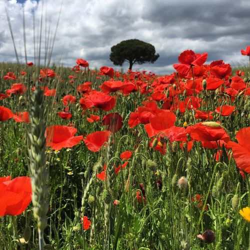 Vermell, vidaaaa Flower Growth Nature Plant Beauty In Nature Cloud - Sky Fragility Sky Poppy Red