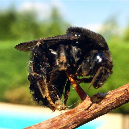 Bombus es un género de himenópteros de la familia Apidae que incluye las especies conocidas por el nombre común de abejorro Abejorro Insectos Bumblebee