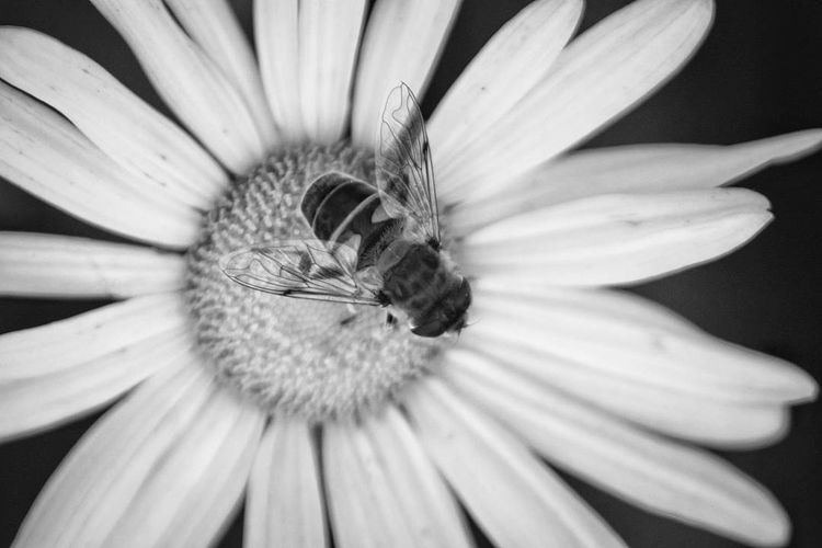 Bee in black and white Flower Insect One Animal Nature Animal Wildlife Animal Themes Beauty In Nature Petal Close-up Animals In The Wild Fragility No People Flower Head Day Freshness Outdoors Long Island Bee Montauk Daisy Perspectives On Nature Black And White Friday