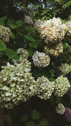 flowering plants and green foliage backdrop Nature Backgrounds Botanical Garden Botanical Species Gardens Outdoor Flowering Plants Gardens Backdrops Leaf Close-up Plant Hydrangea Bunch Of Flowers Blooming Flower Head In Bloom Plant Life Fragility
