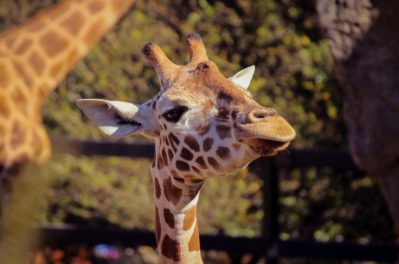 Animal Themes Animal Wildlife Close-up Day Focus On Foreground Giraffe Mammal Nature No People One Animal Outdoors Safari Animals