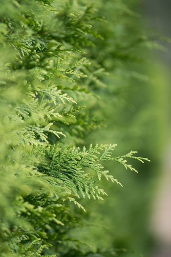 stock photo, , , , , , , , , , Add People × Thuja macro closeup. Healthy thuja branches and twigs green background with selective focus. Green thuja hedge Green Color Plant Growth Plant Part Leaf Beauty In Nature Nature No People Day Close-up Selective Focus Outdoors Tree Focus On Foreground Tranquility Sunlight Freshness Leaves Fern Foliage Thuja Hedge Thuja Spring Gardening Macro