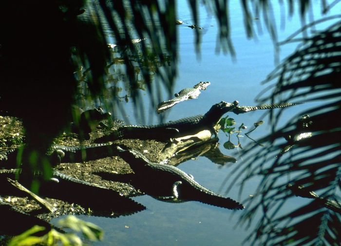 Jacarés, Caimans 1996 Analogue Photography Animal Theme Animals In The Wild Blue Caiman Ecotourism Elevated View Large Groups Of Animals Nature Outdoors Palms Pool Scan Water