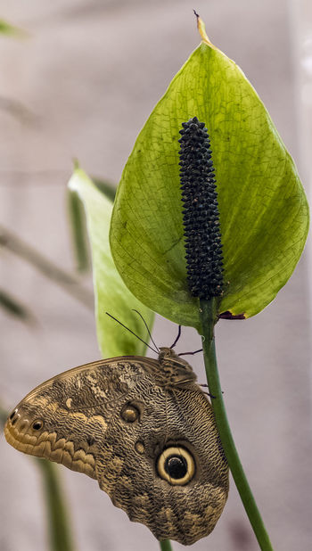 Animal Animal Themes Animal Wildlife Animals In The Wild Beauty In Nature Butterfly - Insect Close-up Day Flower Flowering Plant Focus On Foreground Green Color Growth Leaf Nature No People One Animal Outdoors Plant Plant Part Vertebrate