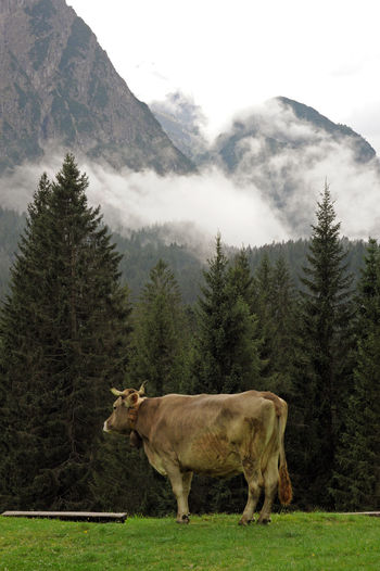 Melancholy - cow grazing in dolomiti mountain pastures