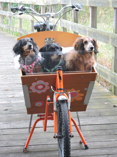 This was the second time I had seen this bicycle with the three pups and I was ready this time and asked for a photo. :D:D Animal Themes Bicycle Basket Boardwalks Day Dog Domestic Animals Going For A Ride  Mammal No People Outdoors Pets