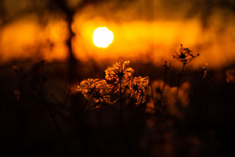 Sunset silhouettes Orange Color Beauty In Nature Sunset Plant Nature No People Tranquility Scenics - Nature Land Growth Sky Flowering Plant Focus On Foreground Selective Focus Outdoors Flower Field Close-up Glowing Tranquil Scene