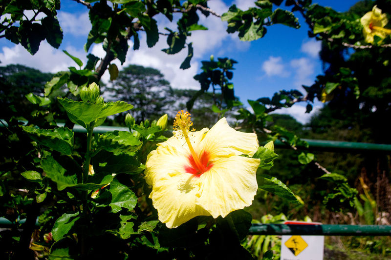 Beauty In Nature Big Island Hawaii Blooming Blossom Bright Colors Close-up Day Flower Freshness Hibiscus Hibiscus Close-up Nature No People Outdoors Petal Plant Rainbowfalls Spring Sunny Day Yellow Flower