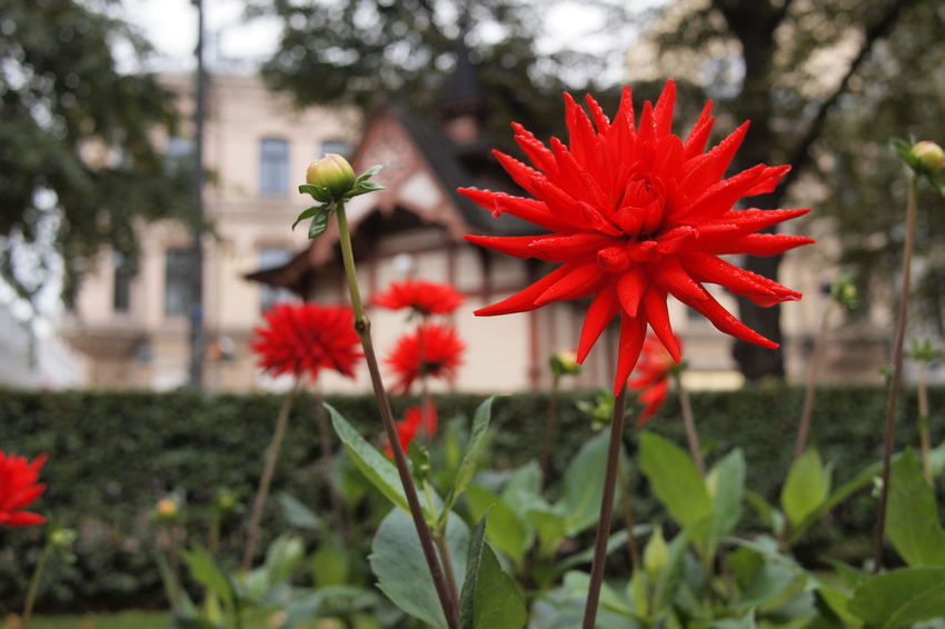 Beauty In Nature Blooming Close-up Day Flower Flower Head Focus On Foreground Fragility Freshness Growth Nature No People Outdoors Park - Man Made Space Petal Plant Red
