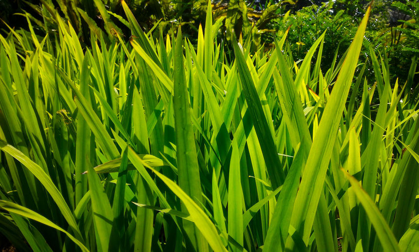 Pointed leaves of plants Garden EyeEm Gallery Eyeem Philippines EyeEm Masterclass Eyeem Market EyeEm EyeEm Nature Lover EyeEm Flower EyeEm Indonesia Eyeemmarket Eyeem Garden EyeEm Best Shots - Nature Eyeem Photography EyeEm Best Shots Growth Green Color Nature Plant Beauty In Nature Field Day Agriculture Outdoors Close-up Grass Full Frame Leaf No People Water Freshness