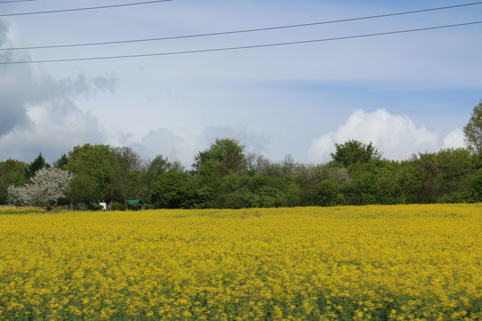 Beauty In Nature Blooming Blossom Field Flower Fragility Freshness Growth In Bloom Landscape Nature Plant Rural Scene Scenics Sky Tranquil Scene Tranquility Tree Yellow Color Pallette