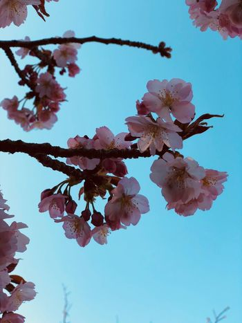 Plant Flower Beauty In Nature Growth Flowering Plant Freshness Nature Vulnerability  Sky Close-up Fragility Tree Day Low Angle View Petal Branch No People Focus On Foreground Pink Color Clear Sky