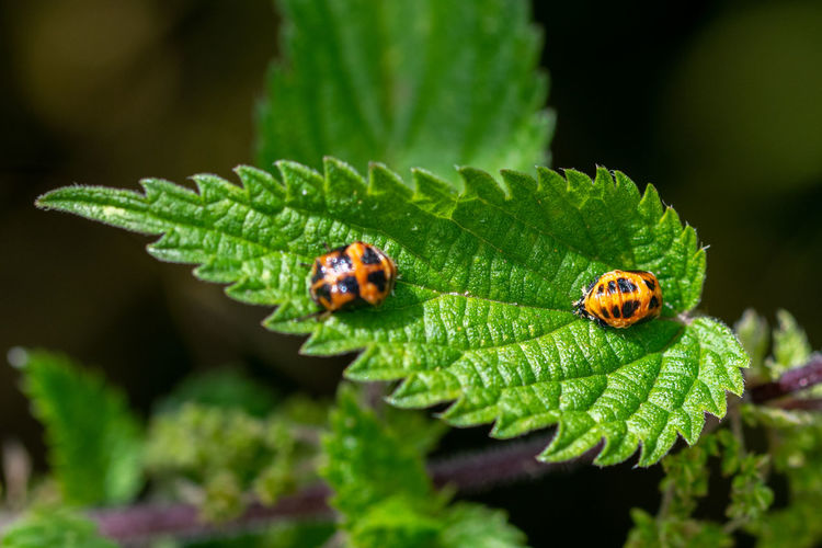 Two harlequin ladybird, harmonia axyridis, pupa on the green stinging nettle leaf