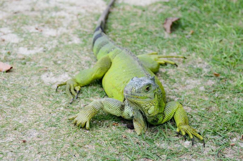 Iguana Animal