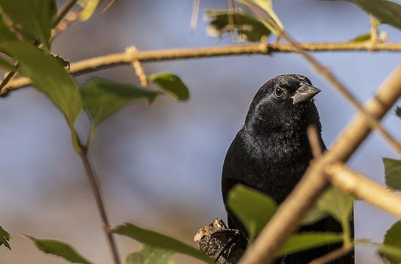 Animal Wildlife Animal Animal Themes Animals In The Wild Bird Perching Black Color Tree Nature Red-winged Blackbird Agelaius Phoeniceus Passerine Avian Ornithology  Beauty In Nature Males