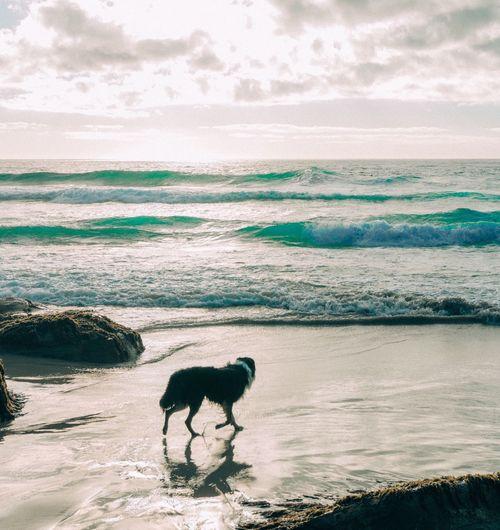 Dog walking on beach by sea