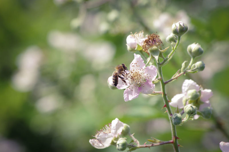 Hedge Row Beauty Black Berry Bush Flower Perching Bee Full Length Insect Flower Head Uncultivated Close-up Plant Honey Bee In Bloom Buzzing Pollination Petal Botany Pollen