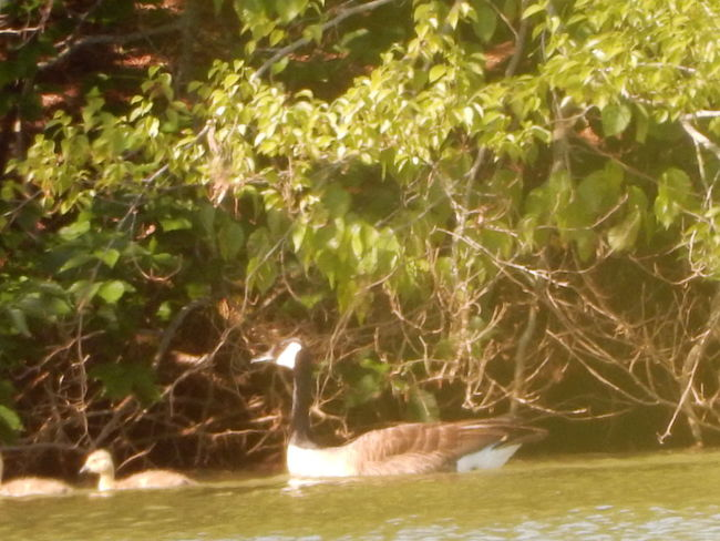 Tennessee Vacation Lakes Collection by justJennifer@TruthIsBeauty Beauty In Nature Day Goose Family Idyllic JustJennifer@TruthIsBeauty Nature No People Outdoors Rippled Scenics Tranquility Tree_collection  Trees And Water Photography TruthIsBeauty Photographic Art 🌷 TruthIsBeauty 💯 Water