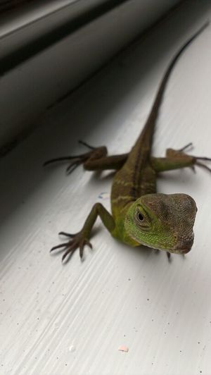 Reptiles Chinese Water Dragon