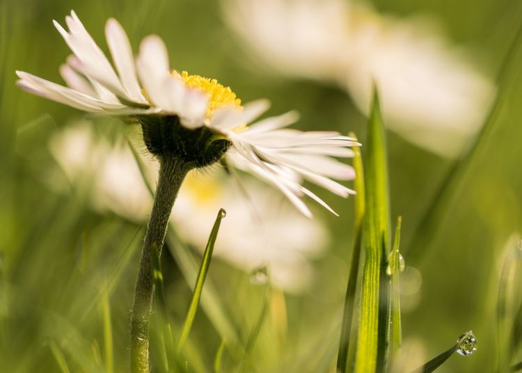 Grass Daisy Flowers Daisies Daisy Flower Daisy EyeEm Selects Flowering Plant Flower Plant Fragility Close-up Freshness Vulnerability  Beauty In Nature Growth Nature Petal Flower Head Focus On Foreground Inflorescence Yellow White Color Green Color No People Day Outdoors