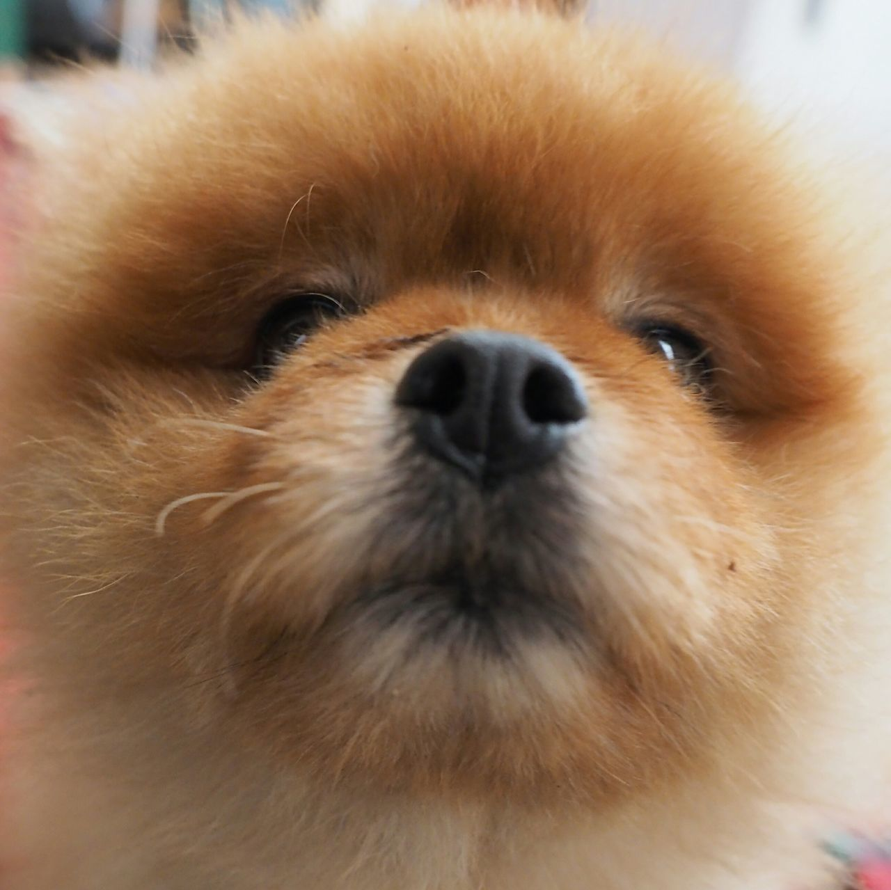 dog, pets, one animal, close-up, looking at camera, mammal, animal themes, brown, portrait, domestic animals, pomeranian, no people, indoors, day