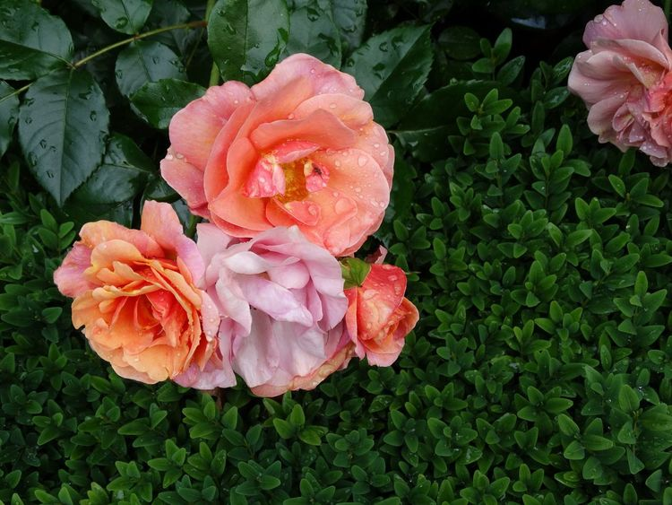 Flowering Backyard Garden Photography Mybackyard InTheGarden Nature_collection Landscape_collection EyeEmNatureLover Roses Pink Rose Rose Garden In Bloom Gardening Bloementuin Thenetherlands
