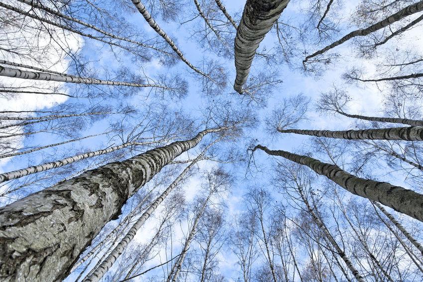 Against The Sky Birches Birches Without Leaves Birken Birken Ohne Laub Blauer Himmel, Weiße Wolken Blue Sky, White Clouds. Weitwinkelige Perspektive Wide Angle View