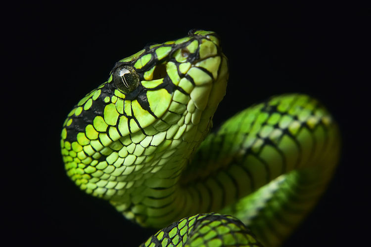 Close-up of green snake against black background