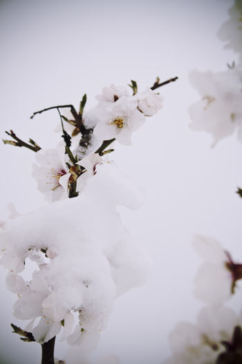 Primavera truncada Almond Blossom Almond Tree Beauty In Nature Branch Close-up Day Flowers Flowers In The Snow Fragility Growth Nature No People Outdoors Snow Spring Flowers Tree White White Flower