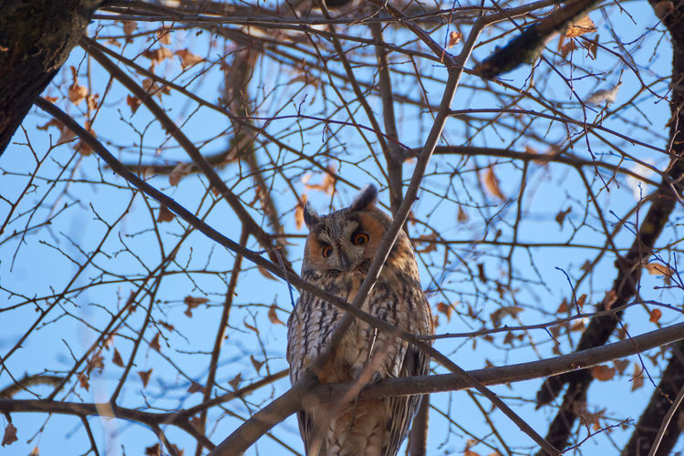 Low angle view of asio otus - long-eared owl